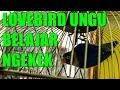Lovebird Ungu Belajar Ngekek Saut Sautan Dengan Murai Batu  Mp3 - Mp4 Download