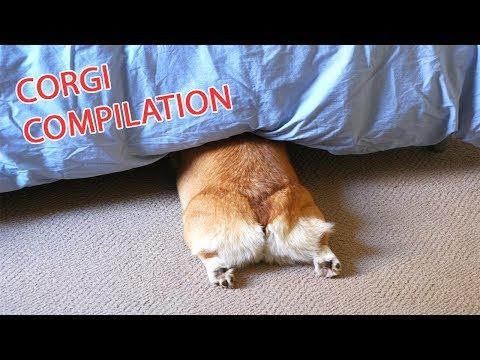 Funny and Cute Corgi Compilation | Best Funny Corgi Videos