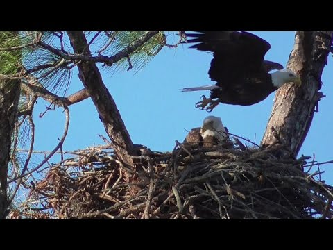 SWFL Eagles_Sunday Fish & Stick Deliveries For 8 Day Old E9 01-08-17
