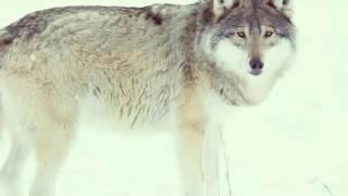 Wilki też zwieżęta