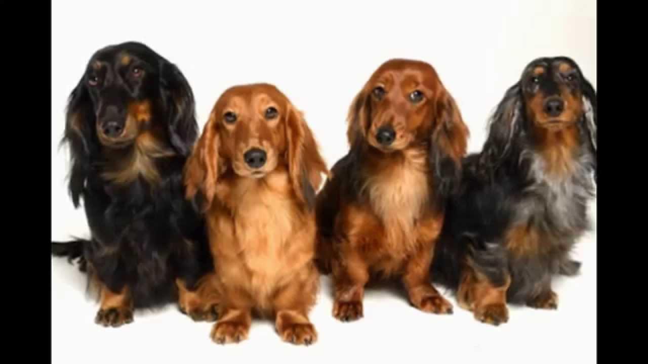 Питомник собак специализированный питомник жесткошерстных такс \ занимается породами: такса стандартная.