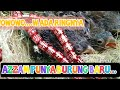 Melihat Koleksi Burung Azzam Afc  Mp3 - Mp4 Download