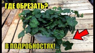 Формирование плющелистной пеларгонии осенью.