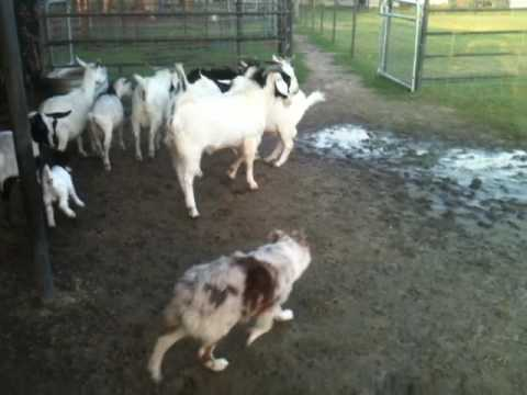 5 month old Australian Shepherd working goats.