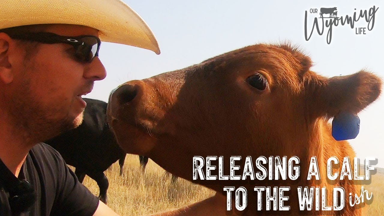 One Calf's Big Adventure