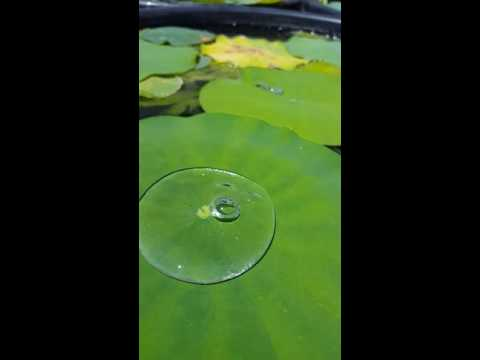 Observable Photosynthesis in Sacred Lotus (Nelumbo Nucifera)