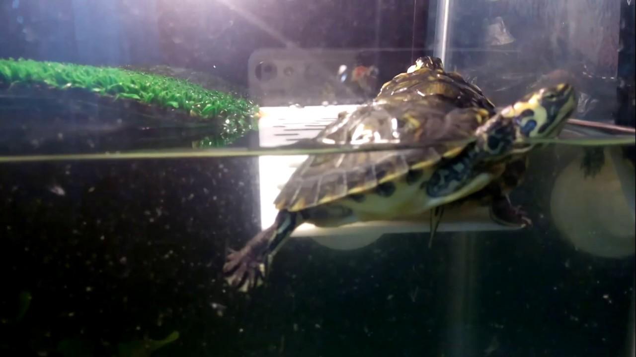 красноухие черепахи дерутся за креветку
