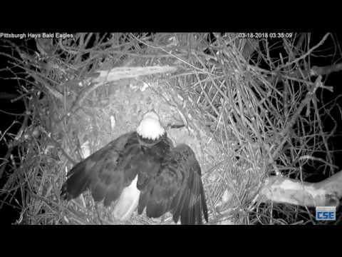Hays Nest - Hays Eagles - Raccoon Back To Test The Locks 3-18-18
