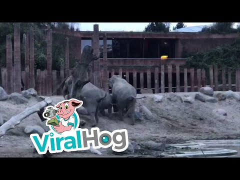 Man Jumps into Elephant Enclosure || ViralHog