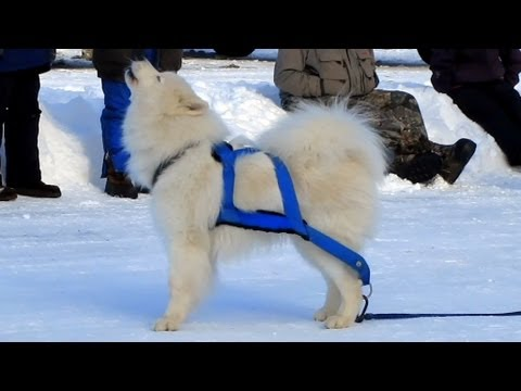 Singing Samoyed Dog Refuses to Do his Job and Pull! Dog Pouting