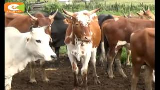 Smart Farm: Chebusit gave up teaching for cattle farming