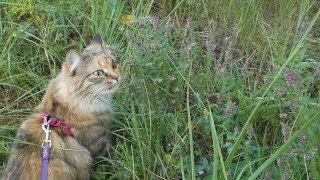 Кошка гуляет на поводке