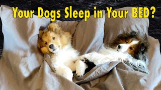 Your Dogs Sleep in Bed with YOU??? Cricket 'the Sheltie' Chronicles Instagram Compilation #5
