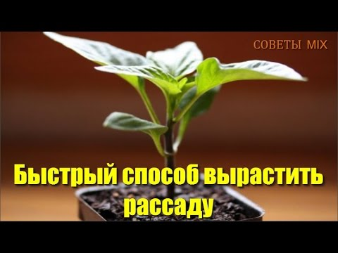 ПОЛЕЗНЫЕ СОВЕТЫ: Как быстро выращивать рассаду для хорошего урожая Секрет успеха