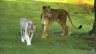 Zabu Bringing Cameron Lion to check on Breakfast early this morning