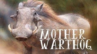 Video Mother Warthog Teaser download MP3, 3GP, MP4, WEBM, AVI, FLV Agustus 2018