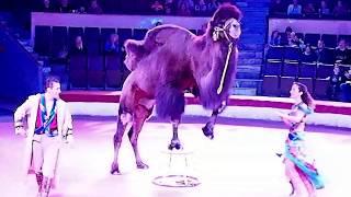 Верблюды в Самарском цирке. Видео Татьяны Крестьянсковой