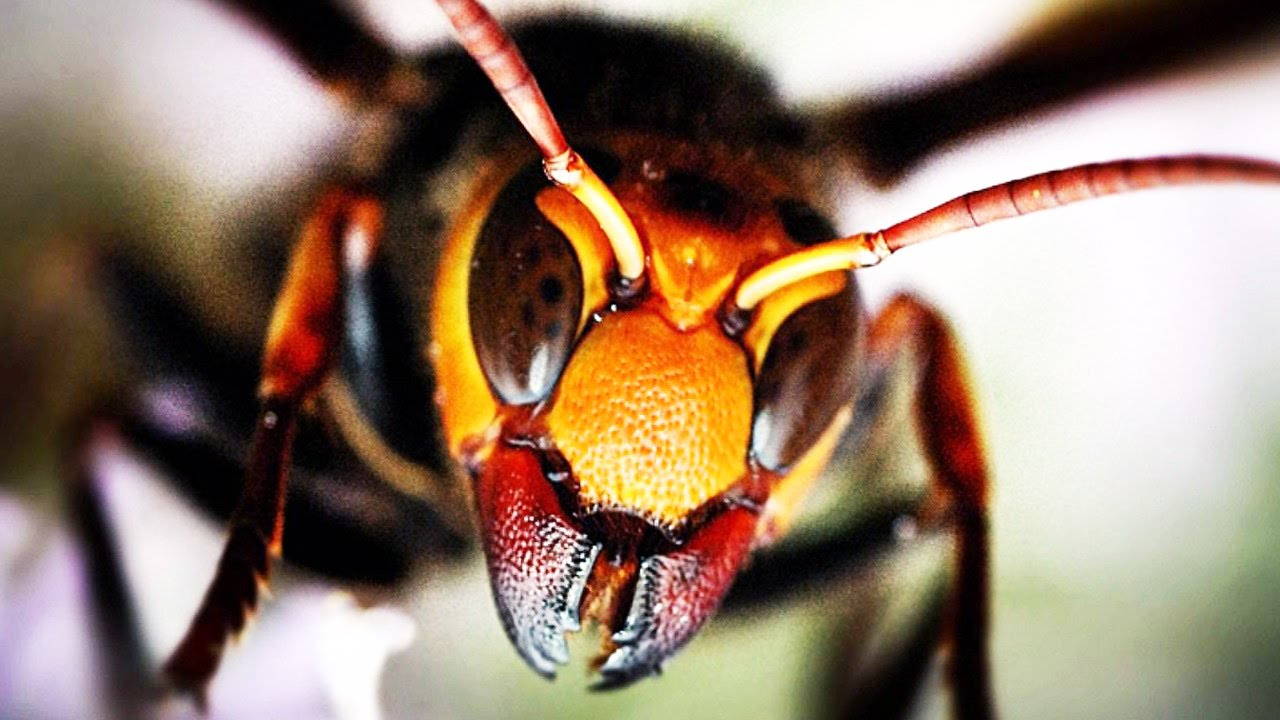 chinese giant hornet - 1280×720