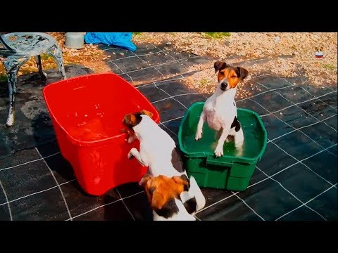 Funny Jack Russell Terrier 2017 # 14