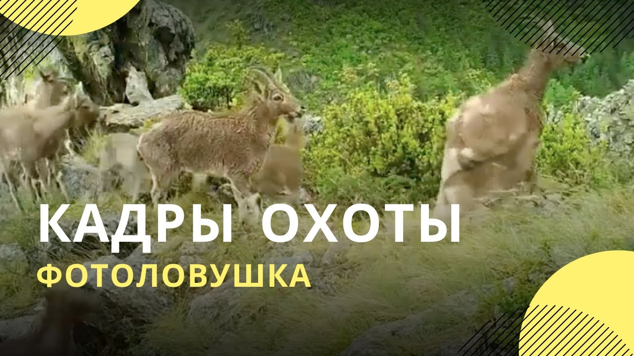 Фотоловушки сняли эффектную охоту ирбиса и орла на сибирского козленка