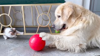 Golden Retriever and Baby Kitten are playing with a ball