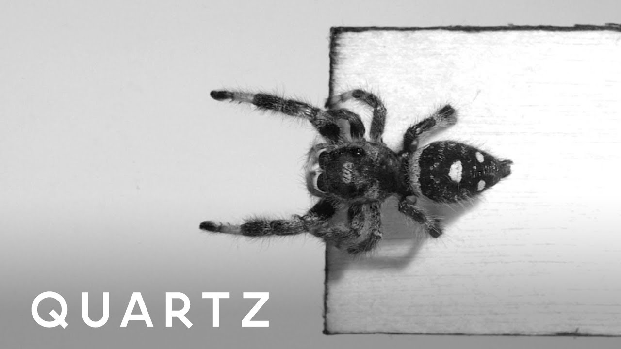 Scientists Trained A Spider To Jump Between Platforms Youtube