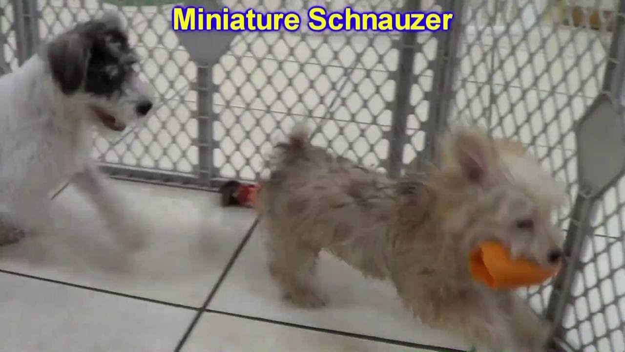 Miniature Schnauzer, Puppies, Dogs, For Sale, In Anchorage, Alaska, AK,  19Breeders, Fairbanks