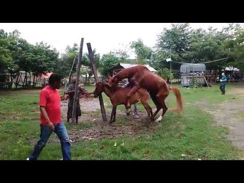 Kuda sumbawa dikawinkan dengan Kuda Australia