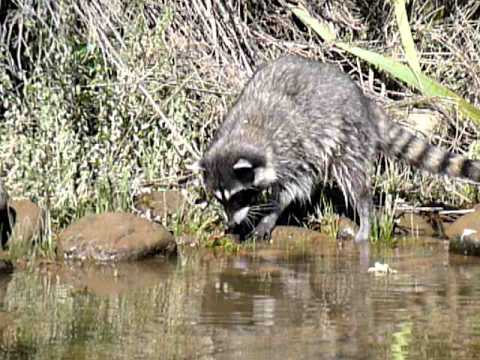 Racoon Catching And Eating Crawdads