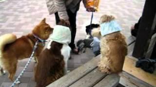 朝のお散歩公園でワン友達がトリーツママからの配給を待っています。 仲...