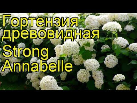 Гортензия древовидная Strong Annabelle. Краткий обзор, описание характеристик