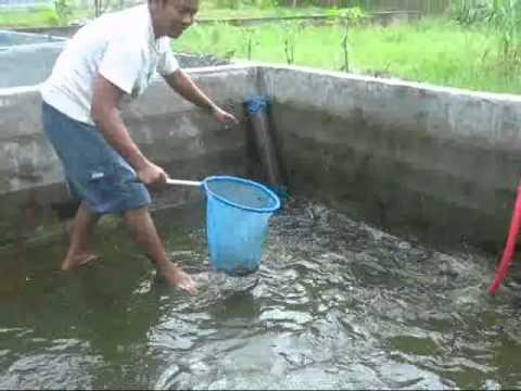 Budidaya Ikan Gabus di Firdaus Kec. Sei Rampah Sergai SUMUT (Full)