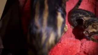 котята Бенгальские в Москве продать - купить