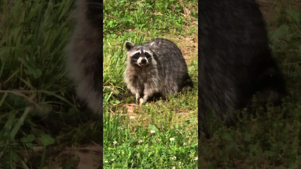huge raccoon in my backyard - YouTube