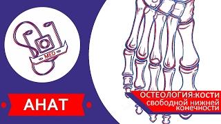 MED || Анат/Остеология №7 || Кости свободной нижней конечности