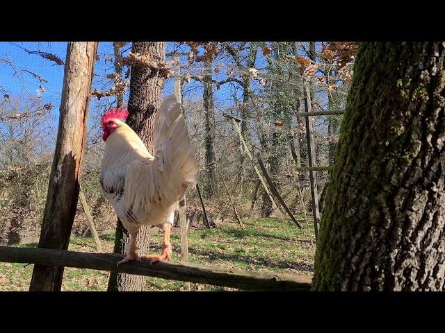 Cockerel Crowing