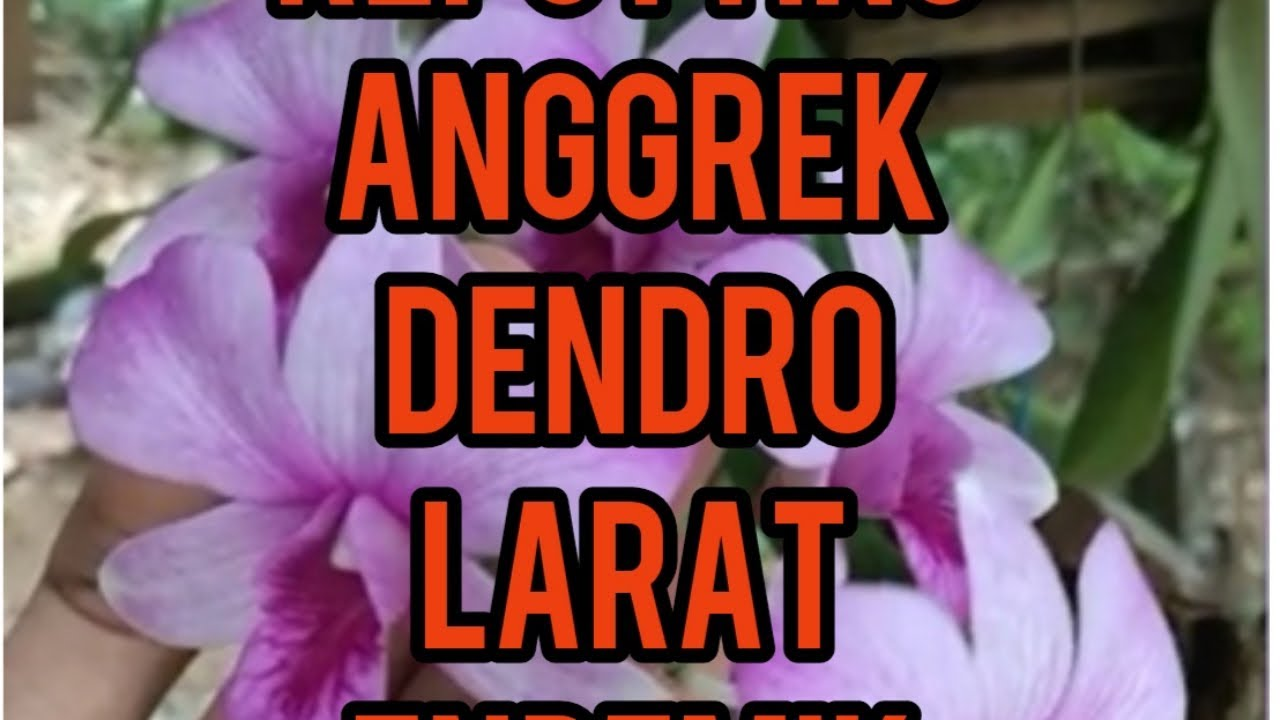 Anggrek Nama Ilmiah godean.web.id