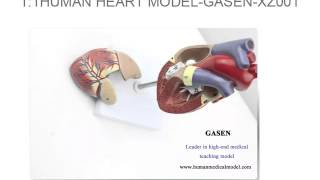 ULTRASOUND B-COLORED HEART MEDICINE TEACHING MODEL 1:1 HUMAN HEART MODELGASEN XZ001