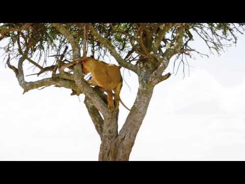 Lion jumping up tree - Masai Mara