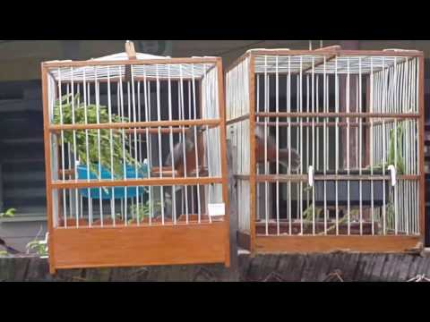 Fire red bird ramp 2017 Bullet vs Kangalang(black cup )