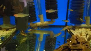 цены на аквариумных рыбок, Пьяная тетра, Hemigrammus bleheri