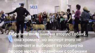 Россия 2013, Бульмастифы кобели класс чемпионов