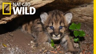 Four Mountain Lion Cubs Curled Up In Their Den   Nat Geo Wild