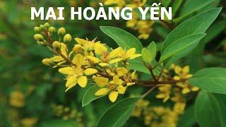 Một loài hoa màu vàng nở quanh năm có tên là Mai Hoàng yến - Cuộc sống quanh ta: Số 654.