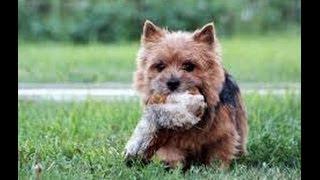 Норвичский терьер (Terrier). Породы собак (Dog Breed)