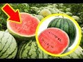 How To Spot Watermelons Grown With Growth Accelerating Chemicals