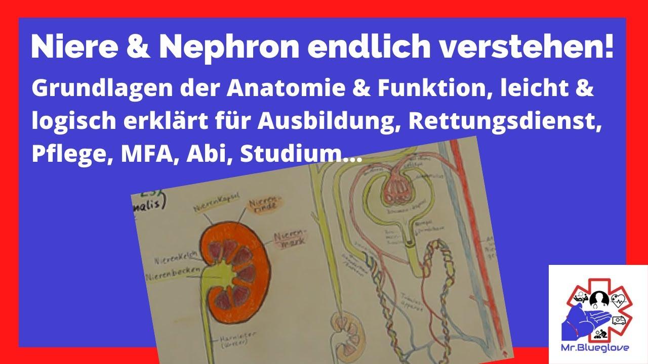 Niere & Nephron Lernvideo (Anatomie & Physiologie) Wissen für ...