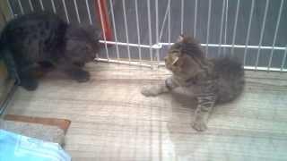 Котята Скоттиш фолд и страйт с мамочкой: 4,5 недели (1)