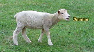 Cute Baby Lamb Baaing