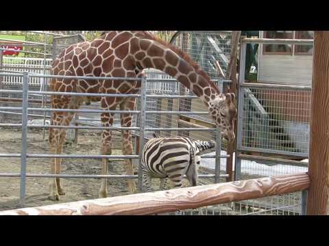 friendly Giraffe and Zebra